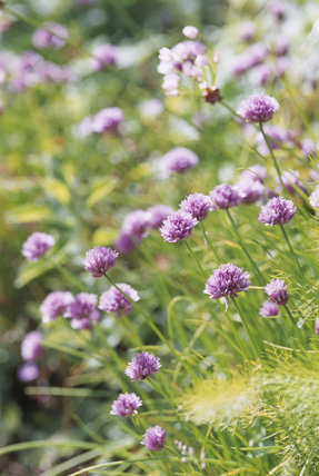 Close-up of chives in bright sunlight in the garden at Greenway