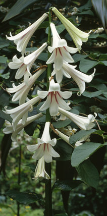 A Himalayan Lily, Lilium Cardiocrinum Giganteum, pictured in the gardens at Mount Stewart