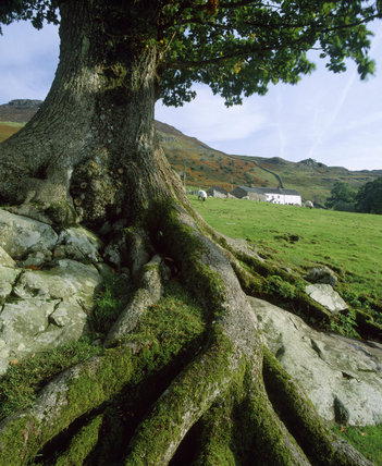 Long view of Ashness Farm, Borrowdale (tree trunk in foreground) a working lakeland fell farm and C16th farmhouse offering bed & breakfast