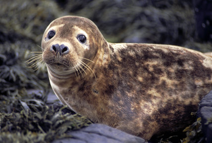 Close up of a young, female, grey seal basking on a beach on the Farne Islands in Northumbria