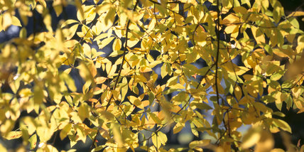 The sun shining through the leaves of Inyssa sylvatica, (Black gum,Tupelo), in Sheffield Park, creating a brilliant golden autumnal glow