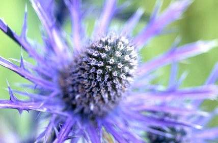 A close up view of Eryngium, the DK blue form, taken in the garden at Wallington in the summer