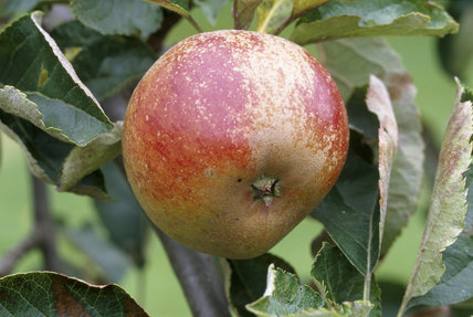 A Ribston Pippin Apple hangs in the orchard at Berrington Hall