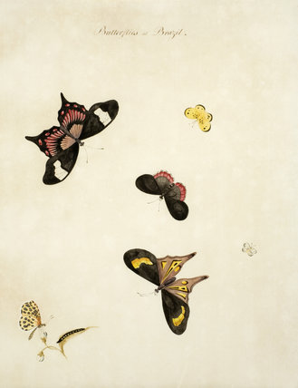 Butterflies of Brazil - One of a series of thirteen bird and butterfly paintings in the Small Dining Room in the new house at Scotney Castle, Kent