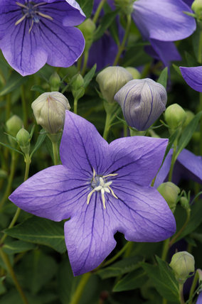 Platycodon grandiflorus, common name Balloon Flower, at Sissinghurst Castle Garden