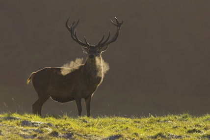 Red deer stag (Cervus elaphus)  in the medieval deer park at Lyme Park, Cheshire