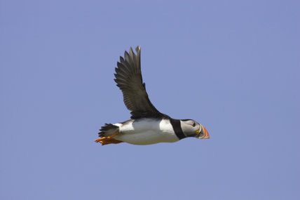 Puffin (Fratercula arctica) in flight in the Inner Farne, Farne Islands