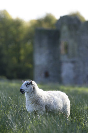 Sheep at Crom Estate, Co. Fermanagh, Northern Ireland.
