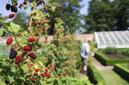 Blackberries growing in the Walled Garden at Calke Abbey, Derbyshire