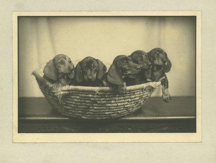 Mrs Ferguson's five puppies
