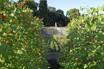 Rows of runner beans on wigwams in the Kitchen Garden at Tyntesfield, Wraxall, North Somerset