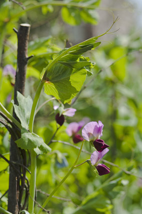 The flower of the purple podded pea, in the Kitchen Garden at Ham House, Richmond-upon-Thames