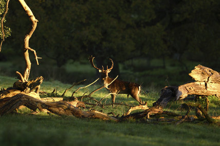 Fallow deer (Dama dama) stag at Crom Estate, Co. Fermanagh, Northern Ireland. The 1,900-acre estate is a nature conservation area and is set on the shores of Upper Lough Erne.