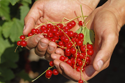 Redcurrants held in the hands of a gardener in the Walled Garden at Calke Abbey, Derbyshire