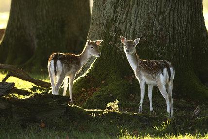 Fallow deer (Dama dama) fawns at Crom Estate, Co. Fermanagh, Northern Ireland.