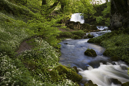Janet's Foss and Gordale Beck with wild garlic, Ramsons, growing along the banks in spring, Malhamdale, North Yorkshire