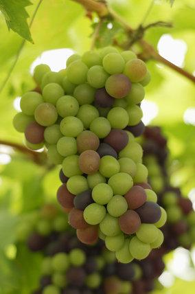 Close view of grapes, growing on a vine in one of the glasshouses at Tyntesfield, Wraxall, North Somerset