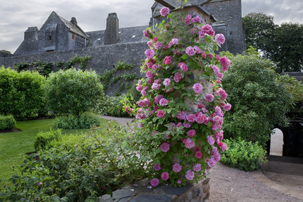 Roses scrambling up a stone pillar with the castle in the background, at Compton Castle, Devon