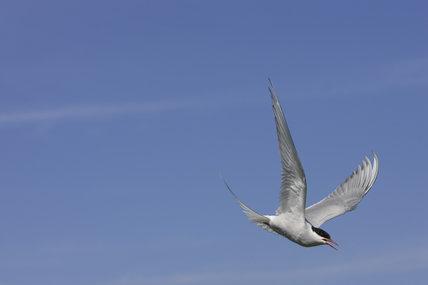 Arctic Tern (Sterna paradisaea) in flight in the Inner Farnes, Farne Islands