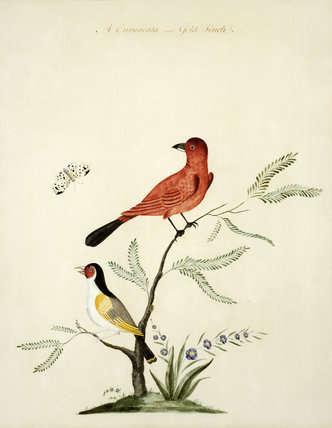 A Curuncala and a Gold Finch - One of a series of thirteen bird and butterfly paintings in the Small Dining Room in the new house at Scotney Castle, Kent