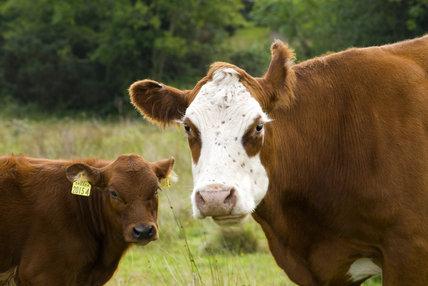 Cattle at Rowallane Farm, Co. Down, Northern Ireland.
