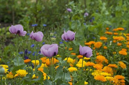 A joyful mix of marigolds, cornflowers and poppies in the Kitchen Garden at Ham House, Richmond-upon-Thames
