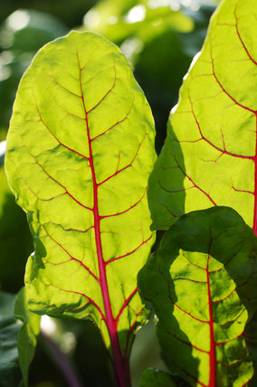Sunlight shining through the leaves of chard