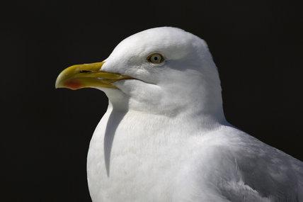Herring Gull (Larus argentatus) at Seahouses Harbour, Northumberland