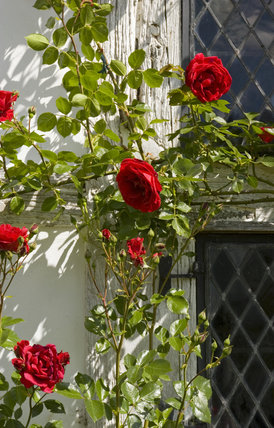 Red roses at the window of Lower Brockhampton House, the medieval manor house on the Brockhampton Estate in Worcestershire