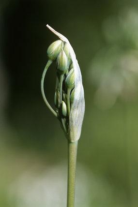 Emerging buds of the Nectaroscordum Siculum, related to the Allium family, at Sissinghurst Castle Garden