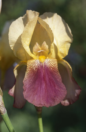 A close up of a yellow and purple Iris 'Shannopin' in the sunshine in Sissinghurst Castle Garden