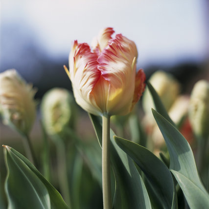 Close view of the tulip 'Estella Rijnveld' in the parterre at Hanbury Hall