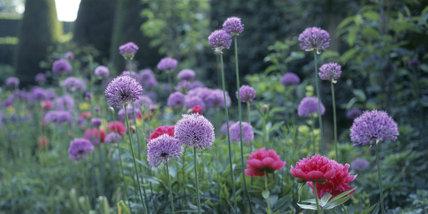 Close up of Paeonia, peonies and Allium at Hidcote Manor Garden, late May