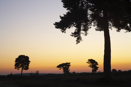 Scots pine trees (Pinus sylvestris)  in the early sunrise looking north on Rockford Common, New Forest, Hampshire