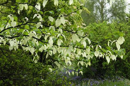 Davidia involucrata, the Dove or Handkerchief tree, at Emmetts Garden, Sevenoaks, Kent