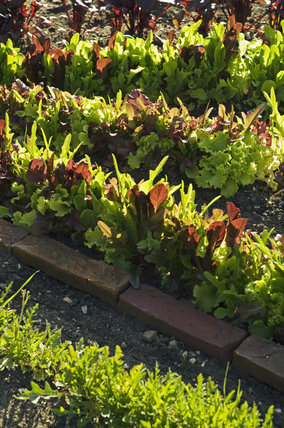 Salad leaves growing in the Kitchen Garden at Ham House, Richmond-upon-Thames