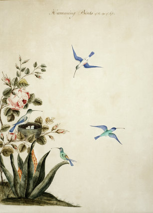Humming birds - One of a series of thirteen bird and butterfly paintings in the Small Dining Room in the new house at Scotney Castle, Kent