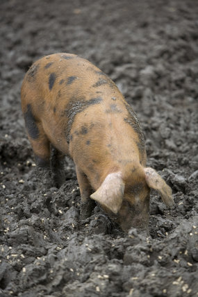 Pigs at Wimpole Home Farm; the farm was built in 1794 and is now home to a variety of rare animal breeds
