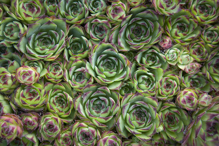 Close view of houseleeks, Sempervivum, at Compton Castle, Devon