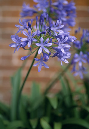 Close view of the blue starry flower head of an Agapanthus in the garden at Hanbury Hall