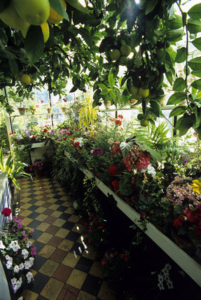The Orangery at Peckover House is used for the display of a wide range of flowering pot plants