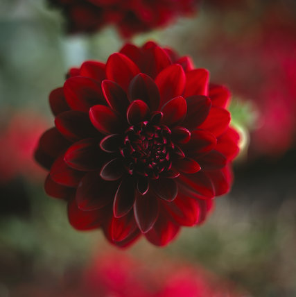 Close view of a deep red Dahlia in full bloom in the Red Border at Hidcote