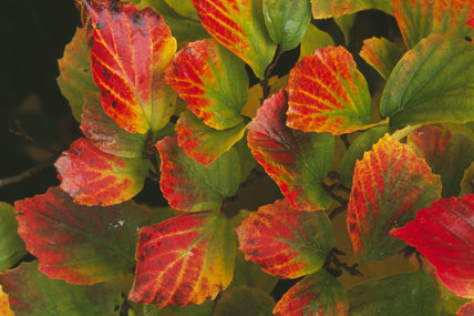 Leaves of Fothergilla monticola, in their striking autumn colours, in the grounds of Sheffield Park Gardens, in October