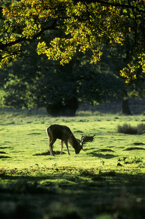 A Fallow Deer Buck 'Dama Dama' feeding under trees at Petworth Park in sunshine