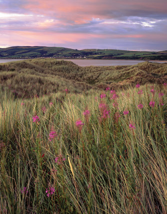 Grass and willow herb in the evening twilight at Sandscale Haws, looking across the Duddon estuary towards wind farms in the distance