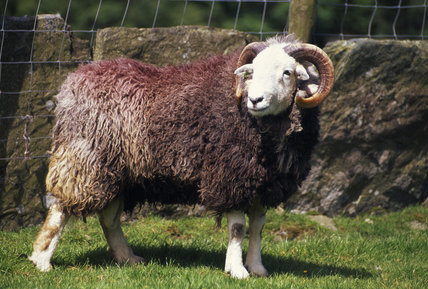 (FL) A Herdwick Ram taken at High Yewdale Farm in Coniston Water in the Lake District