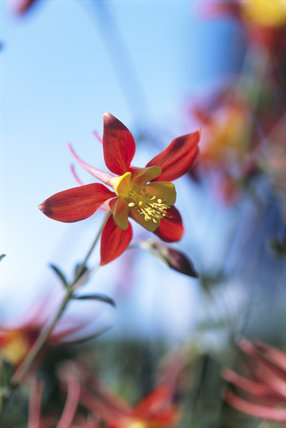 A close up of a red and yellow coloured Aquilegia seedling in the Cottage Garden at Sissinghurst Castle Garden with a bright blue sky and other similarly coloured flowers in the background
