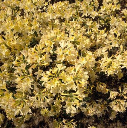 A detailed close up of Azaleas