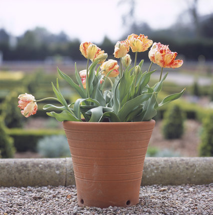A flower pot of Tulipa 'Estella Rijnveld' (parrot group) on the parterre at Hanbury Hall