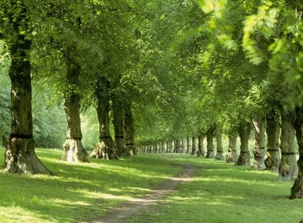 The Lime tree Avenue at Clumber Park which was planted by the 4th Duke of Newcastle in about 1840